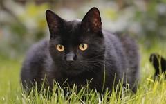 Puma (gaby.harig) Tags: 449517 natur tiere haustiere katzen