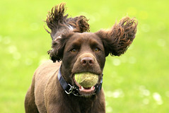 _MG_8528 (colin.banfield) Tags: dog dogs spanial pet animal running ears ball fetch