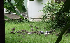 feeding the birds (the foreign photographer - ฝรั่งถ่) Tags: birds doves eating white rice our lawn bangkhen bangkok thailand sony rx100