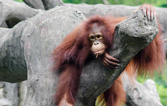 I Hate the Humidity (jim-e b) Tags: taiwan taiwanese taipei taipeicity zoo orangutan nikon lightroom d7000 summer asia photography dslr taipeizoo