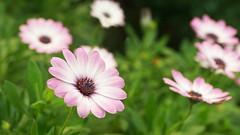 Daisies (judith511) Tags: daisies africandaisy flowers plants