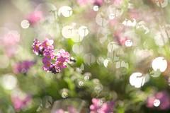 diffraction (christophe.laigle) Tags: rose bokeh colours xf60mm nature flower myosotis paradise waterdrops christophelaigle paradis rain raindrop fleur macro lumière gouttes pink drops fuji pluie couleurs raindrops forgetmenot diffraction xpro2