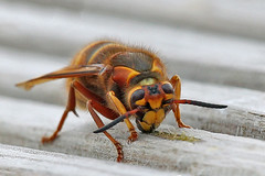 Demolition Worker (Roy Lowry) Tags: burtonmerewetlands dolichovespulamedia medianwasp