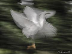 Whirlwind (pandatub) Tags: bird birds lakeshorepark egret snowyegret