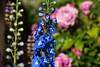 Not those blues! (AchilleaMS) Tags: manual bokeh blue flowers nature canoneos1dx gardens summer zeiss green northwest buds zeissaposonnart2135ze delphinium redmond washington unitedstates us aposonnart2135 ze carlzeiss