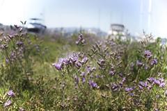 Sausalito Sunday (Zee Jenkins) Tags: sausalito ca bayarea sunday lazysunday boats harbor marina sailing boat mast flowers statice purple