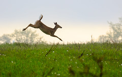 Coming in for a landing (CamSummers) Tags: deer white tail doe jump land meadow outdoor nature single canon eos7dmarkii 100400mm morning early jumping horizon