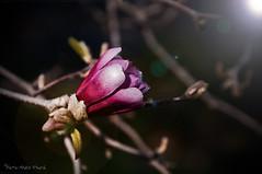 Magnolia ... ( P-A) Tags: magnolia couleur isoléseul jardinornemental nature verdure arbres saturé fuchsia printemps visiteurs touristes photos simpa©