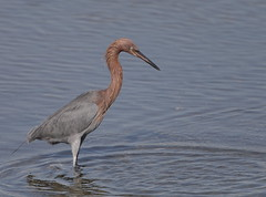 1DX16387 Must be viewed large to see details. Reddish Egret. Bolsa Chica. Huntington Beach California (E.W. Smit Wildlife) Tags: reddishegret egret ef500mmf4lis ef500mmf4lis14x ef500mmf4lisusm ef500mmf4lisusm14x canonef500mmf4lis14x canonef500mmf4lisusm canonef500mmf4lisusm14x gimbalhead wimberley wimberleygimbalheadwh200 wimberleygimbalhead wimberleywh200 gitzo gitzotripod g1325mk2 gitzog1325mk2 gitzog1325mk2tripod tripod wildanimals tourist tourists telephotolens unitedstatesofamerica usa outdoor outdoors supertelephotolens huntingtonbeach huntingtonbeachcalifornia wetlands bolsachica bolsachicaecologicalreserve bolsachicahuntingtonbeachcalifornia bird birds ocean park parks pacificocean animal avian animals socal southerncalifornia lake canon nature wildlife eos1dx canoneos1dx 1dx canon1dx canonef500mmf4lis water eos1d x