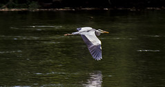 heron outstretched (PDKImages) Tags: bergerac france reflections water gironde heron bridge river dordogne waterfront