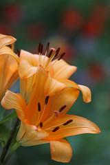 A Liliciuous View (AnyMotion) Tags: lily lilie lilium blossom blüte petals blütenblätter bokeh tulips tulpen 2017 floral flowers frankfurt plants anymotion vase colours colors farben orange 7d2 canoneos7dmarkii macro makro makroaufnahmen ngc npc