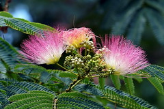 Persian silk tree (Jim Atkins Sr) Tags: albiziajulibrissin persiansilktree pinksilktree mimosa tree pink flower sonyphotographing sonya58 sony fairfieldharbour macro closeup