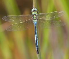 Photo of Emperor dragonfly  Ymerawdwr