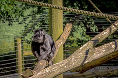 monkeying around (Tony_Brasier) Tags: nikon kent cages trees grass golden garden monkeys rope brown 70300mm fields fun canterbury howletts zoo hot hut d7200 town tamron