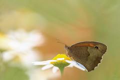 Meadow Brown (ildikólaskay) Tags: schmetterling falter mariposa farfalla papillion lepke rovar maniolajurtina meadowbrown groseochsenauge myrtil nagyökörszemlepke