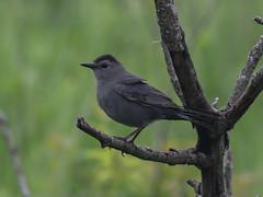 Gray Catbird, Dumetella carolinensis (bruce_aird) Tags: