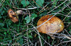 Yellow Boletes (tinlight7) Tags: bolete mushroom rungus yellow abant bolu turkey meadow