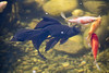 Black Moor goldfish in the pond - Norway (Ingunn Eriksen) Tags: goldfish goldfishpond pond fish nikond750 nikon blackmoor
