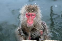 Japanese Macaque, Jigokudani Snow Monkey Park, Japan (rmk2112rmk) Tags: japanesemacaque jigokudanisnowmonkeypark japan macaque jigokudani snowmonkey monkey macaca fuscata dof bokeh onsen hotsprings