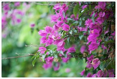 20170604-003 (Explored) (Aaron Cat) Tags: bougainvillea 九重葛 aaronhsu canon eos 5d markiii canoneos5dmarkiii canonef100mmf28macrousm plants flowers