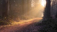 Heavenly light (M a u r i c e) Tags: light sunlight sunrise dawn forest woods path netherlands nature landscape illumination dew tree