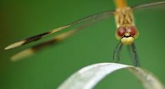 Complicità... (andrea.zanaboni) Tags: libellula dragonfly occhi eyes rosso red insetti insects macro nikon sguardo portrait