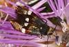 Borboleta Noturna // Fairy Moth (Nemophora raddaella)