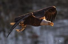 Eagle catches food and light (Beth Sargent) Tags: baldeagle birdofprey raptor hunter lake shadow light fly flight food catch goldenlight nature wildlife explore