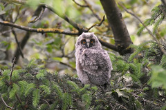 Long-eared Owlet (Phil D 245) Tags: