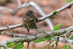 Merle noir (femelle) - Turdus merula - Common Blackbird (Alain-46) Tags: merlenoir turdusmerula commonblackbird passériformes turdidés