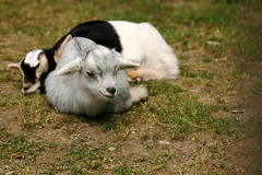 Jeunes agneaux (Carahiah) Tags: parcanimalierdesaintecroix saintecroix nature animaux agneaux repos sieste paisible