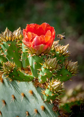 spring 2017 (rogermajors) Tags: dbg desert botanical gardens desertbotanicalgardens arizona spring flowers catus bloom catudbloom red yellow pink green nude