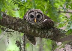 I Got This Feeling... (PeterBrannon) Tags: bird birdphotography florida immature nature strixvaria tampa wildlife young barredowl owl portrait