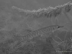 Auenheim-20170629-0909 (opa guy) Tags: allemagne leutesheimauenheim poissonfishfisch brochet poissondeaudouce underwaterdivingtauschenplongée