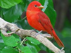 IMG_6420 (lbj.birds) Tags: kansas nature flinthills wildlife bird tanager summertanager