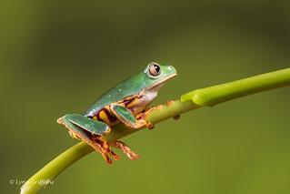 Super Tiger Legged Waxy Monkey Leaf Frog D75_7108.jpg