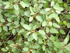 Aspanta (M.P.N.texan) Tags: plant shrub native texas sanddune aspanta padreisland
