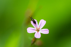Géranium herbe à robert (Geranium robertianum) (Conrad Zimmermann) Tags: flora flore macro randonnée saison suisse switzerland attalens vaud ch