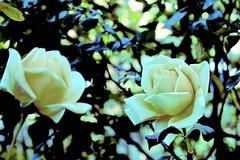 Last of the Autumn Roses!! (maginoz1) Tags: roses abstract art red yellow manipulation bullarosegarden alisterclark winter june 2017 bulla melbourne victoria australia canon g3x