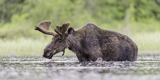Feeding moose in creek