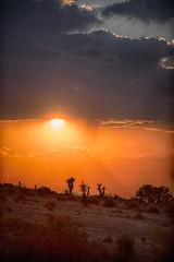 Yuccas (unwizetrader) Tags: sun sunset westtexas yuccas