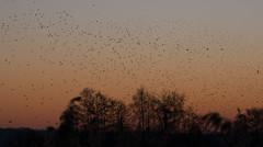 Murmuration-14 (Odd Wellies) Tags: hamwall murmuration starlings