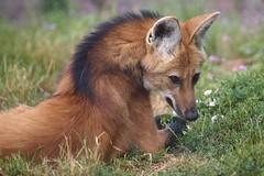 la crinière (rondoudou87) Tags: pentax k1 parc zoo reynou loup loupàcrinière nature natur wildlife wild smcpda300mmf40edifsdm sauvage maned wolf manedwolf
