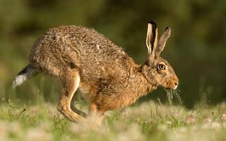 Running Brown Hare