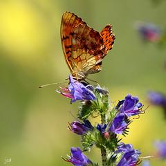 Le Nacré de la ronce _Brenthis daphne (nicéphor) Tags: papillons rhopalocères faune nature wildlife fleurs tamron150600mm canon eos7d