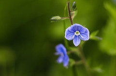 Veronica persica (svklimkin) Tags: veronica persica flower summer blue spring background green svklimkin macro garden