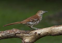 Brown Thrasher (AllHarts) Tags: brownthrasher backyardbirds memphistn naturesspirit thesunshinegroup sunrays5 feathersbeaks ourwonderfulandfragileworld naturescarousel ngc npc challengeclubchampions inexplore