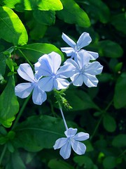 Plumbago (M.P.N.texan) Tags: plumbago plant shrub garden flower flowers flowering bloom blooms blooming houston