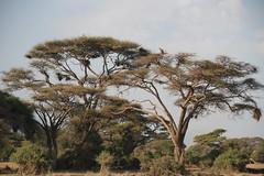 IMG_0923 (tmc1233) Tags: kenya safari elephants zebras giraffes baboons wildebeest hippos rhinos rhinoceres masai mara kiliminjaro savanna lion cheetah leopard big five masaimara amboseli nakuru lakenakuru maasaimara
