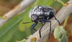 Black and White Julodis - Julodis humeralis (1) (Richard Collier - Wildlife and Travel Photography) Tags: wildlife naturalhistory insects bugs africa southernafrica namibia macro blackandwhitejulodis julodishumeralis beetle